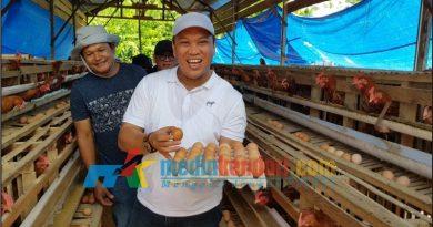 Bupati Konut, Ruksamin saat melakukan panen perdana telur ayam di Lamondowo. Foto: Ruslan/mediakendari