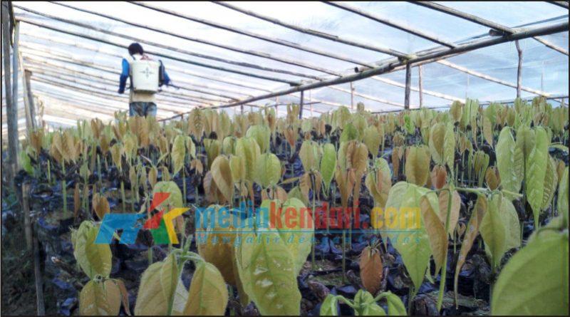 pembibitan Kakao dalam Program Revitalisasi kakao di Kolut