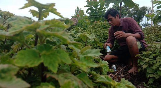 Salah satu petani Nilam di Desa Ronta, Kecamatan Bonegunu, Fiklat Munajad di kebun nilam miliknya. Foto: La Ode Adnan Irham